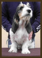 Grand Basset Griffon Vendeen – ICE-BERG de L'Empyree